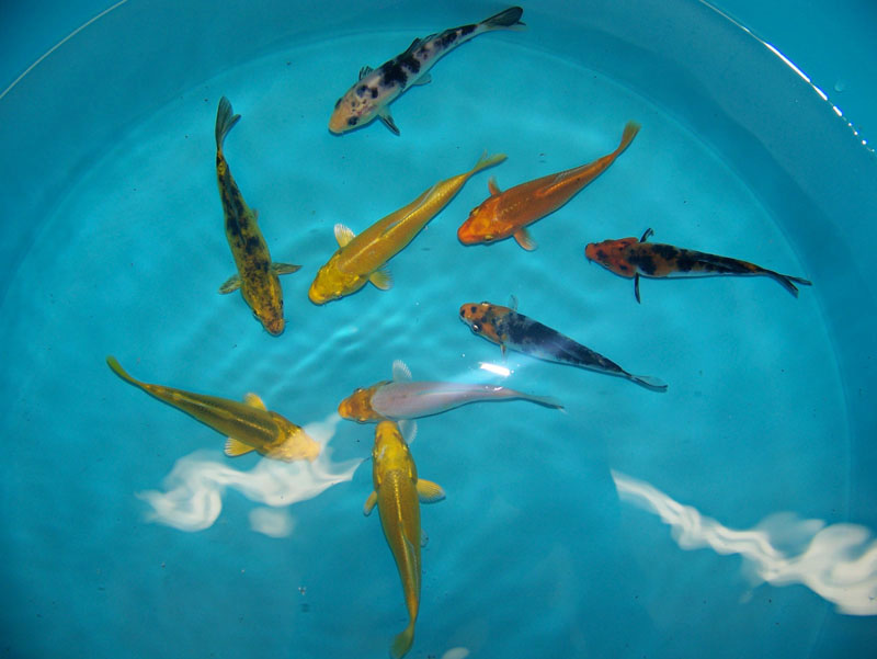 Fish prices koi fish prices image search results for Hardiest pond fish