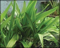 Tropical Pond Plants - Bog Lily