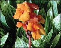 Tropical Pond Plants - Canna Bengal Tiger