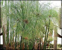 Tropical Pond Plants - Dwarf Giant Papyrus