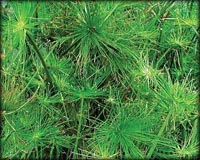 Tropical Pond Plants - Dwarf Papyrus