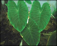 Tropical Pond Plants - Green Taro