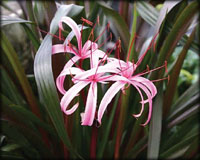 Tropical Pond Plants - Red Bog Lily