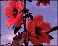 Tropical Pond Plants - Red Night Blooming Hibiscus