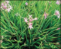 Tropical Pond Plants - Society Garlic
