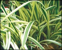 Tropical Pond Plants - Variegated Spider Lily