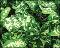 Tropical Pond Plants - Variegated Taro