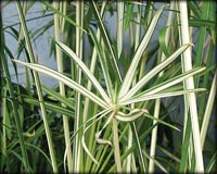 Tropical Pond Plants - Variegated Umbrella Palm