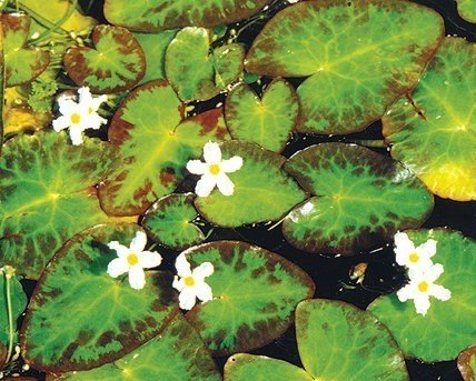 Floating pond plants hardy pond plants for Floating pond plants