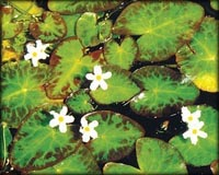 Tropical Pond Plants - White Snowflake