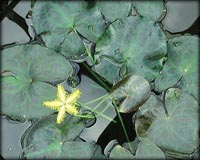 Tropical Pond Plants - Yellow Snowflake